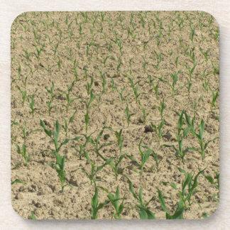 Posavasos Campo del maíz del maíz verde en primero tiempo