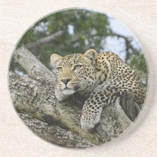 Posavasos De Arenisca Gato salvaje animal del safari de África del árbol