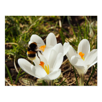 Postal A to bumblebee a flying crocus flower