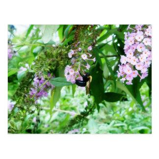 Postal Abeja de carpintero del este en la flor de Salvia