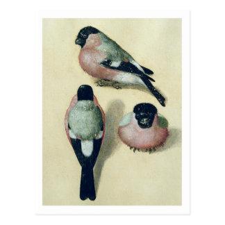 Postal Albrecht Durer tres estudios de un Bullfinch