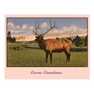 Postal Alces de Bull en el parque de Yellowstone