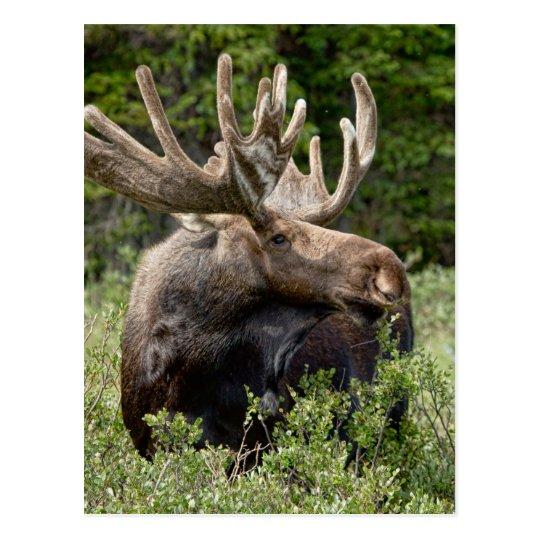 Postal Alces de Bull en el salvaje