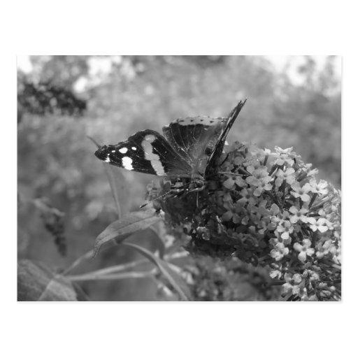 Postal - almirante Butterfly en negro y blanco