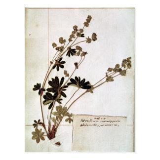 Postal Alquimila, de un herbario