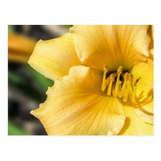 Postal amarilla compensada de la flor del lirio