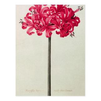 Postal Amaryllis Sarniensis, o narciso