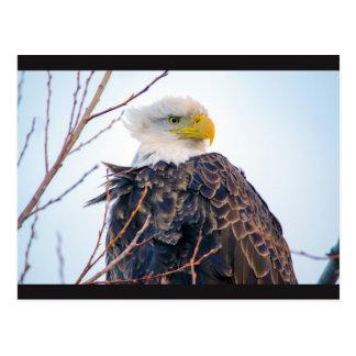Postal americana de Eagle calvo IV