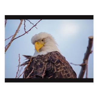 Postal americana de Eagle calvo VII