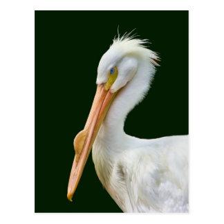 Postal americana del pájaro del pelícano blanco