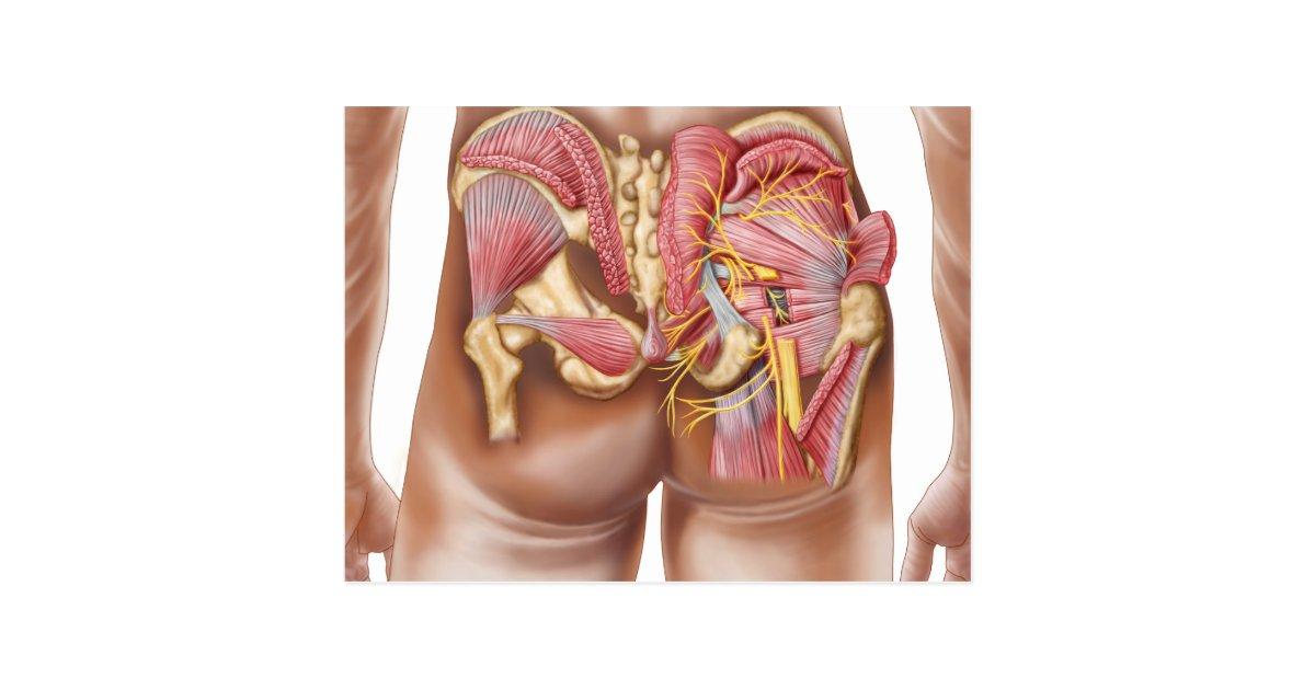 Postal Anatomía de los músculos glúteos en nalgas | Zazzle.es