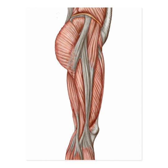 Postal Anatomía de los músculos humanos del muslo, visión | Zazzle.es