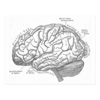 Postal Anatomía del cerebro del vintage