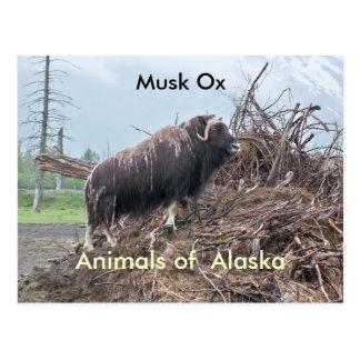 Postal Animales del buey del Alaska-almizcle