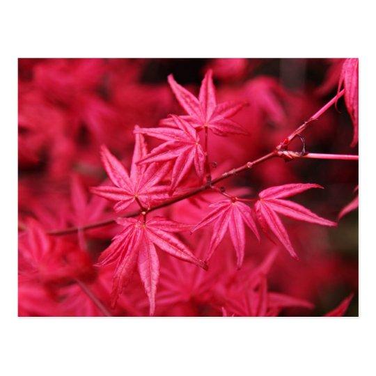 Postal Arce rojo japonés