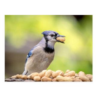 Postal Arrendajo azul con un cacahuete