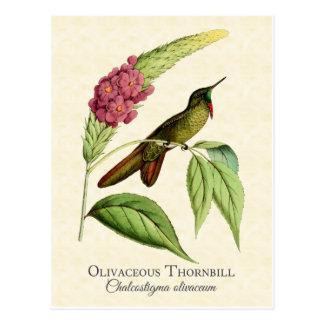 Postal Arte oliváceo del vintage del colibrí de Thornbill