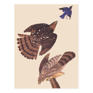 Postal Ave rapaz del halcón de los toneleros de Audubon
