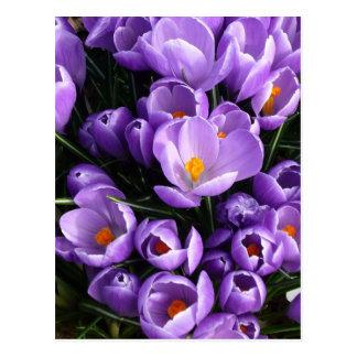 Postal Azafrán púrpura