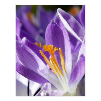 Postal Azafrán violeta de la primavera