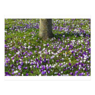 Postal Azafranes del campo de flores en hierba de la