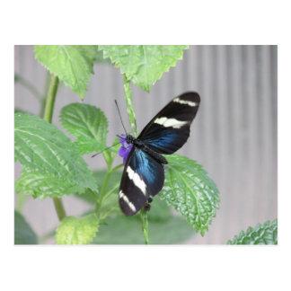 Postal azul, blanco y negro de la mariposa