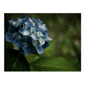 Postal azul del Hydrangea 8519
