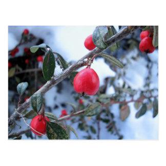 Postal Bayas rojas del escaramujo del invierno