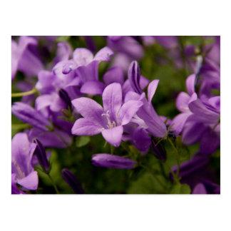 Postal Bellflowers dálmatas púrpuras