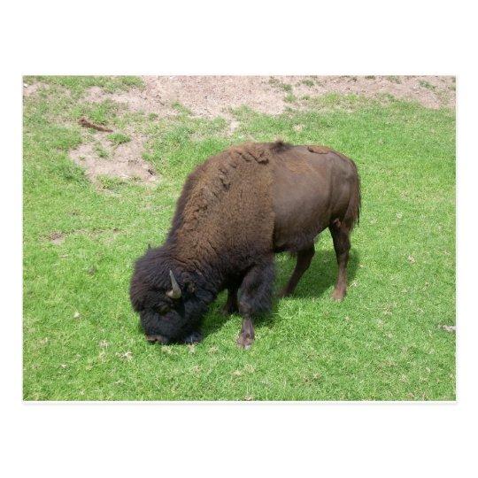 Postal Bisonte