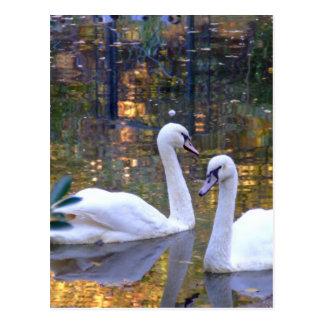 Postal blanca de los cisnes