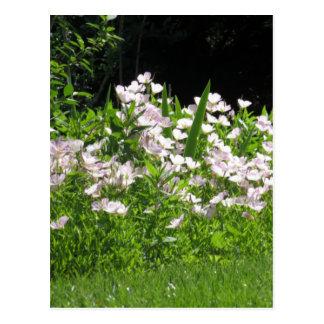Postal blanco salvaje de la floración de la primavera de