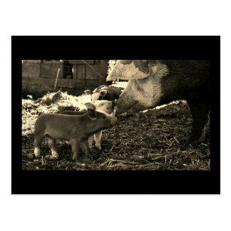 Postal blanco y negro. Cerdo y cochinillos