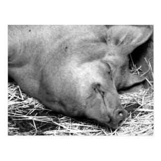 Postal blanco y negro de la foto del cerdo el