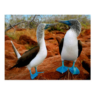 Postal Blue footed Boobies (Sula nebouxii)