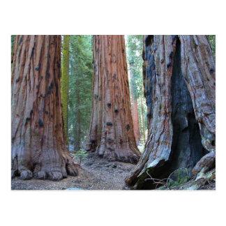 Postal Bosques del árbol de las secoyas
