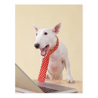 Postal Bull terrier miniatura que mira el ordenador