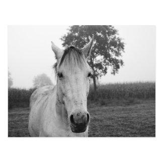 Postal Caballo animal blanco y negro de la fotografía de