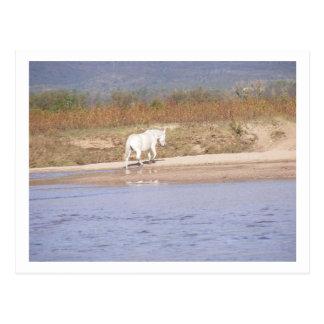 Postal caballo blanco que cruza el río
