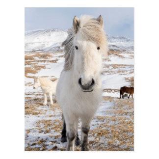 Postal Caballo islandés blanco, Islandia