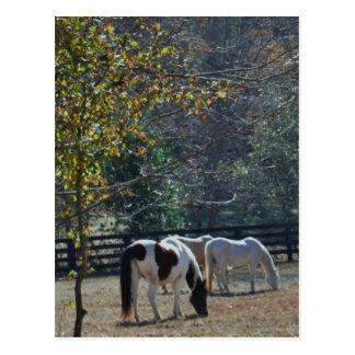 Postal Caballo pintado &White de Brown y caballo de la
