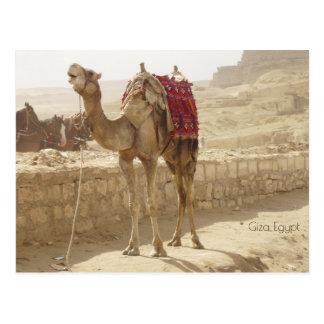 Postal Camello en Giza Egipto