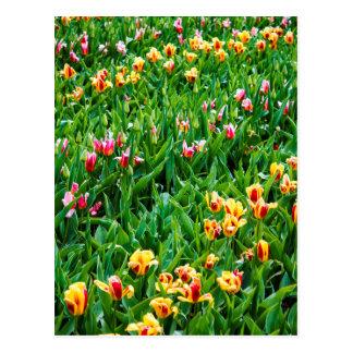Postal Campo con los tulipanes rosados y amarillos