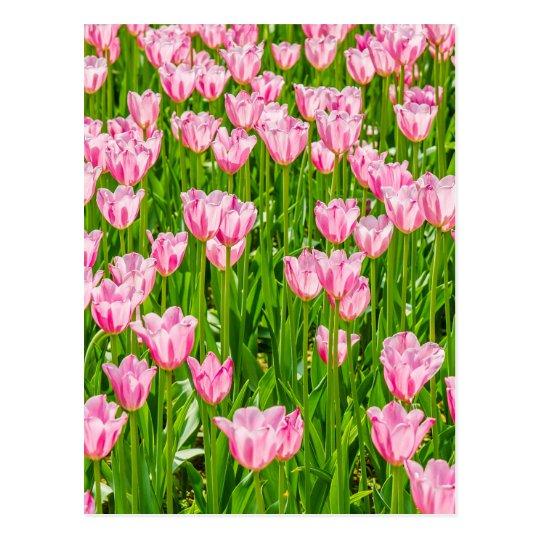 Postal Campo de las flores rosadas del tulipán