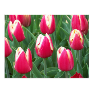Postal Campo rojo y blanco del tulipán