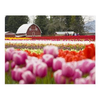 Postal Campos del tulipán del Monte Vernon, el condado de