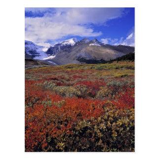 Postal Canadá, Alberta, Banff NP. Los arándanos