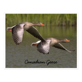 Postal canadiense de los gansos que vuela