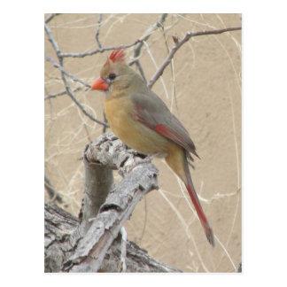Postal cardinal septentrional femenina