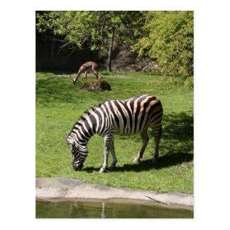 Postal Cebra y Gazelle